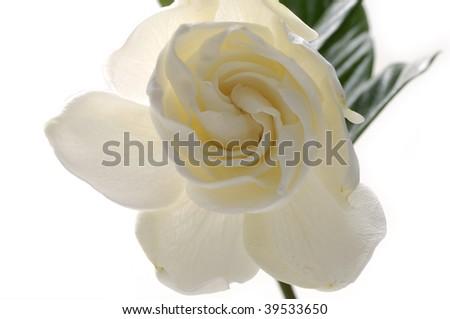 Beautiful white gardenia - stock photo