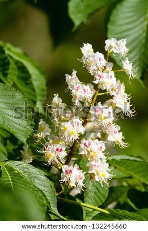 Beautiful white horse chestnut flowers - stock photo