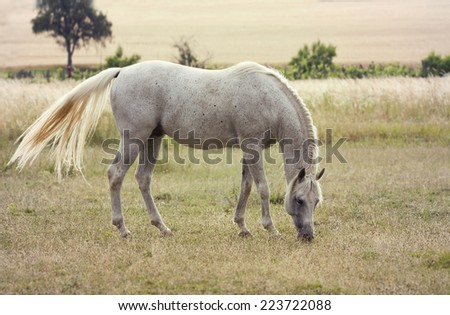Beautiful white horse grazing in the field - stock photo