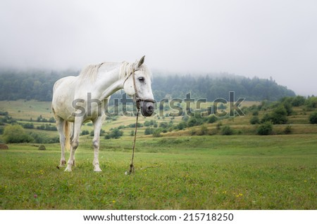 Beautiful white horse on the meadow in a foggy day - stock photo
