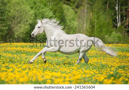 Beautiful white horse running on the field with dandelions - stock photo