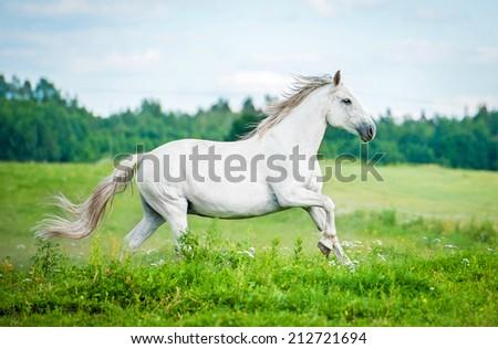 Beautiful white horse running on the summer field - stock photo
