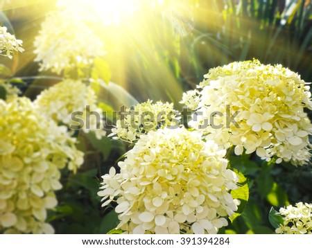Beautiful white Hydrangea  macrophylla in garden - stock photo