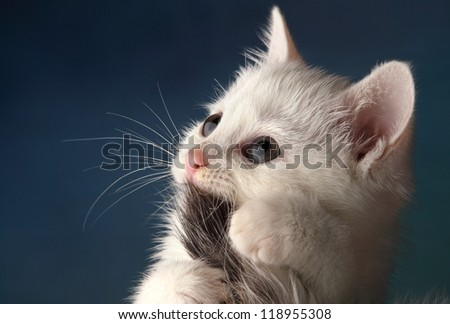beautiful white kitten playing with tail on a blue background