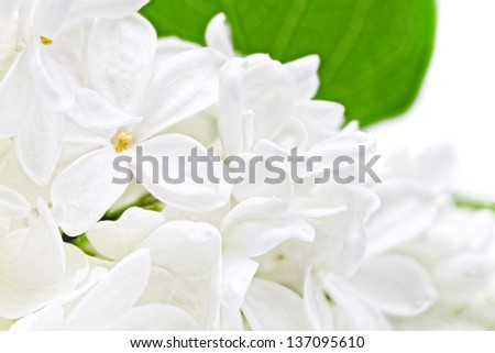 Beautiful  white  Lilac . Isolated over white.
