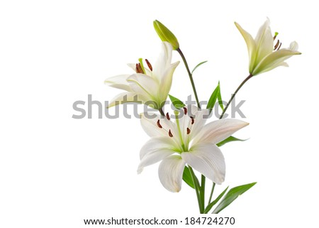 Beautiful white lilies, isolated on white, horizontal studio shot - stock photo
