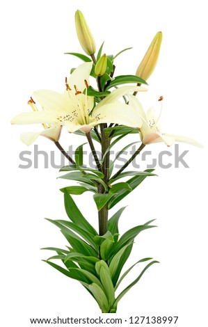 Beautiful white lily flowers isolated on white background