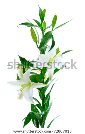 Beautiful white lily flowers. isolated on white background - stock photo