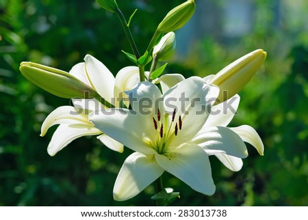 Beautiful white lily flowers on a background of green leaves outdoors. Shallow depth of field. Selective focus. - stock photo