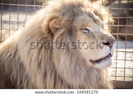 Beautiful,white lion