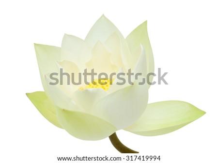 beautiful white Lotus flower isolated - stock photo