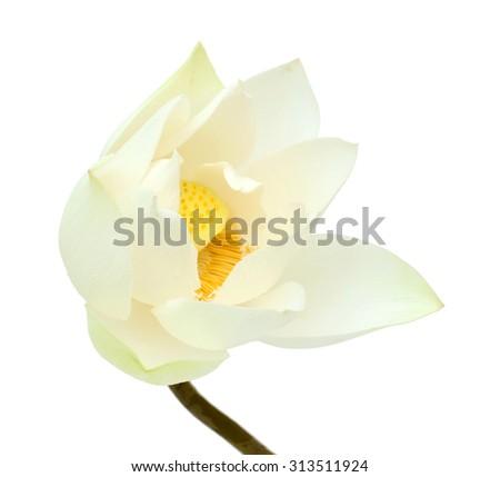 beautiful white Lotus flower isolated on white background - stock photo