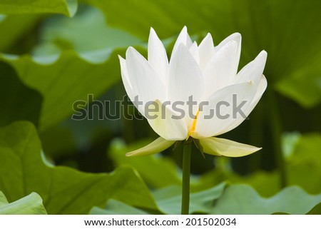 Beautiful white lotus flower on a sunny summer day