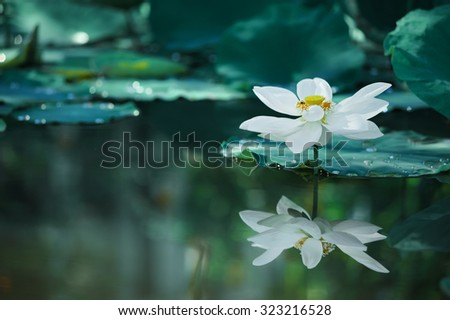 Beautiful white lotus flower with green leave on lake and drop water , adjust to blue tone make an almost surreal image - stock photo