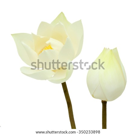 Beautiful white lotus flowers isolated on white background - stock photo