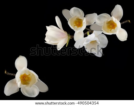 Beautiful white magnolia flower blooming  on black background