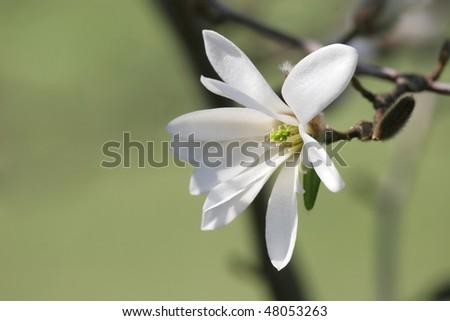 Beautiful white magnolia  flower (shallow DOF) - stock photo