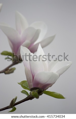 Beautiful white Magnolia tree flowers that is blooming one of the first in Spring Time, in soft focus.