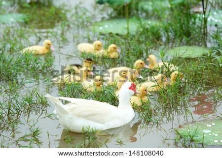 Beautiful white mother-duck and ducklings swimming on water lily at pond - stock photo