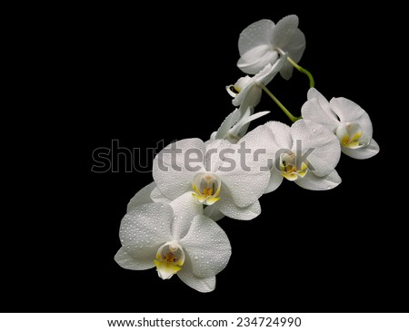beautiful white orchid branch isolated on black background close-up. horizontal photo.