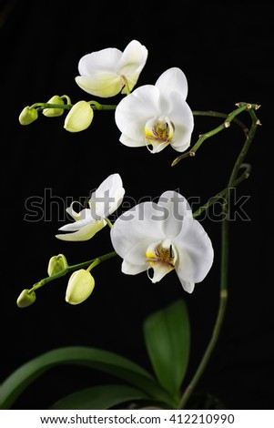 Beautiful white orchid branch on black background. Closeup. - stock photo