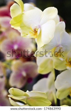 Beautiful white orchid in a store. Blurred in the background pink orchid - stock photo