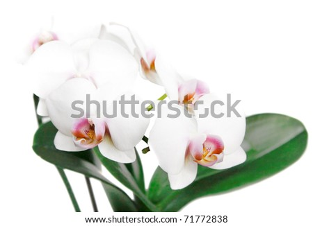 beautiful white orchid isolated on white. - stock photo