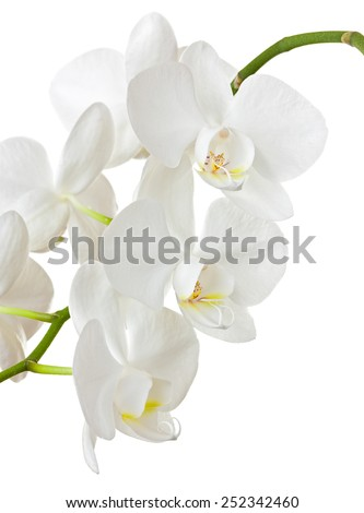 Beautiful white orchid isolated on white background  - stock photo