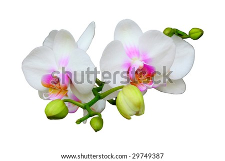 Beautiful white orchid on white background. - stock photo