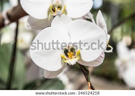 Beautiful white orchid - Phalaenopsis - stock photo