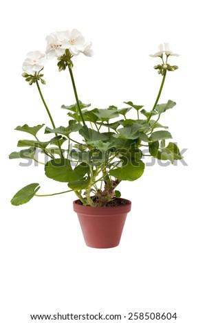 Beautiful white pelargonium in a flowerpot, isolated on white background - stock photo