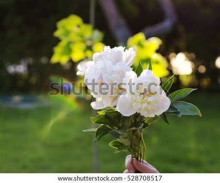 Beautiful white peonies on a background of green grass. Fresh white flowers. Peonies.
