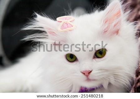 Beautiful white persian cat - stock photo