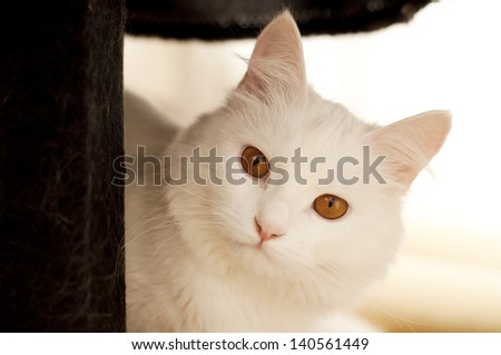 Beautiful white persian cat with copper eyes