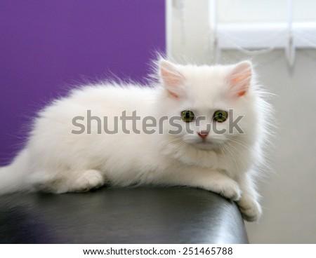 Beautiful white persian kitten - stock photo