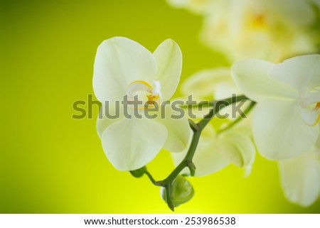Beautiful white phalaenopsis flowers on a green background - stock photo