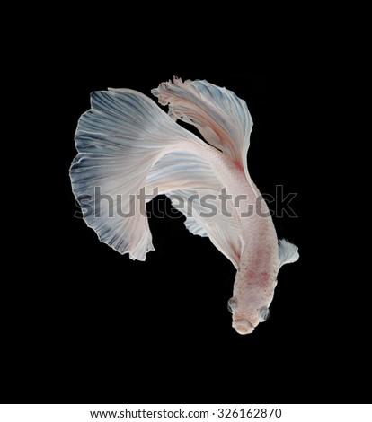Beautiful White Platt Platinum Siamese Fighting Fish .White siamese fighting fish, betta fish isolated on black background. - stock photo
