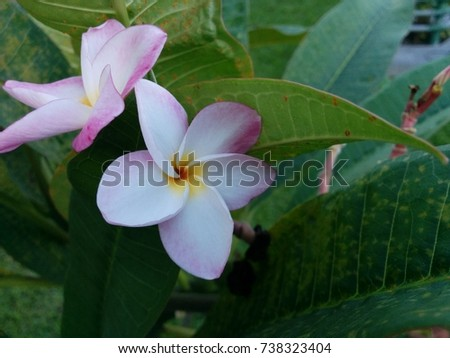 beautiful white plumeria flower