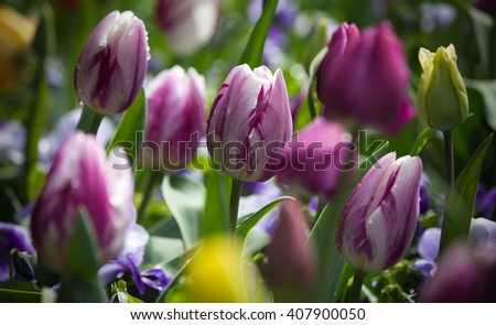 Beautiful white purple striped tulip in a natural garden environment - stock photo