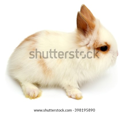 Beautiful white rabbit angora lion head isolated on white background