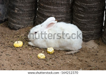 Beautiful white rabbit eating corn placed on the ground.