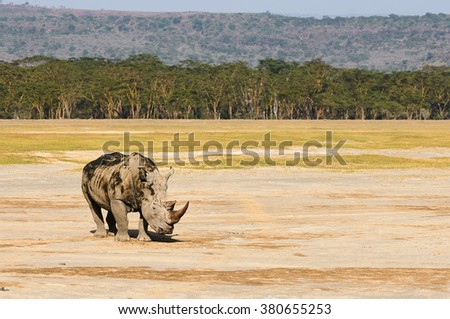 Beautiful white rhinoceros photographed across the African savannah