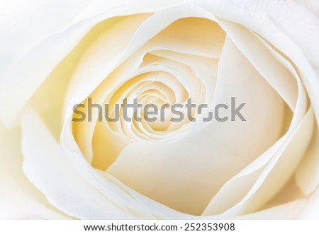 beautiful white rose close up image - stock photo