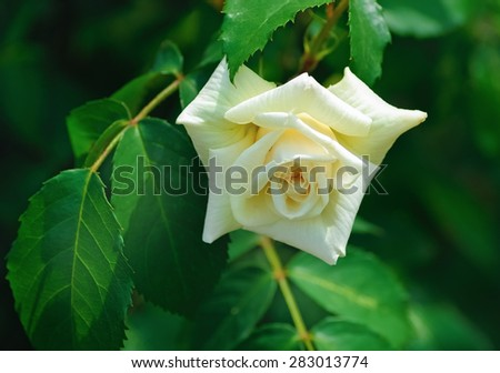 Beautiful white rose on a background of green leaves outdoors. Shallow depth of field. Selective focus. - stock photo