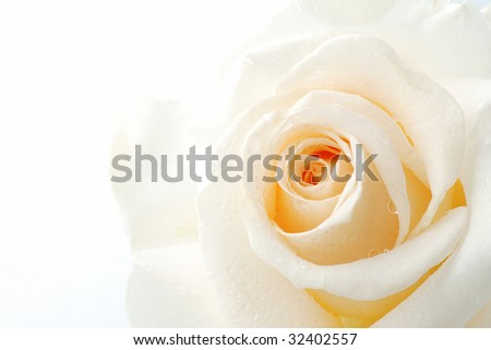 Beautiful white rose with drops of dew isolated on white - stock photo