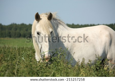 Beautiful white shire horse portrait at the field - stock photo