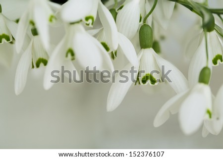 Beautiful white snowdrop flowers in spring studio shot