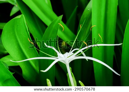 Beautiful white spider lily, Hymenocallis littoralis, with its distinctive long spindly delicate petals growing in a lush garden - stock photo