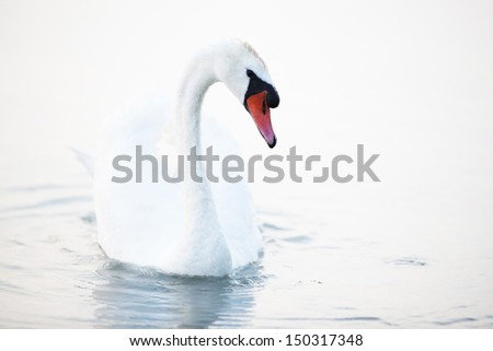 Beautiful white swan - stock photo