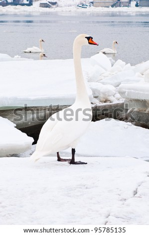 Beautiful white swan standing on frozen river